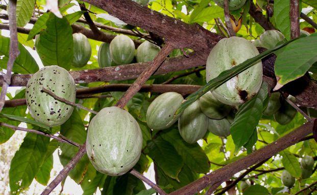 Kakaopflanze auf Sansibar. Foto:  Dieter Sch&uuml;tz / <a href='http://www.pixelio.de' target='_blank'>pixelio.de</a>