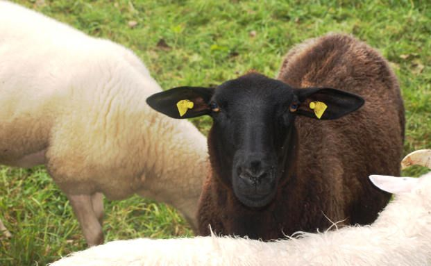 """Schwarze Schafe gibt es immer: Vielen Finanzvermittlern fehlen die Zulassungen für die Art von Produkten, die sie anbieten. Foto: Waldili / <a href=""""http://www.pixelio.de"""" target=""""_blank"""" data-htmlarea-external=""""1"""">pixelio.de</a>"""