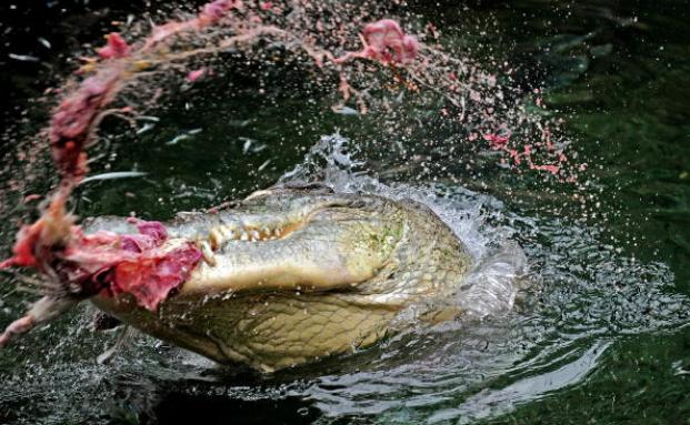 Durch Krokodilangriffe stirbt statistisch gesehen in Australien Jahr für Jahr ein Mensch. Entsprechende Versicherungen sind ein begehrtes Souvenir bei Touristen. Foto: Getty Images