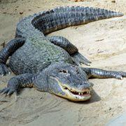 Krokodile sind keine einfachen<br>Ringpartner (Foto: Fotolia)