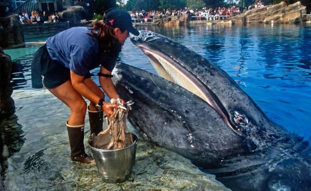 JJ, der Grauwal bekommt Futter. Das Tier ist vor der Küste von Marina Del Rey knapp dem Tod entkommen und lebt nun im Seaworld-Park zu San Diego. Der Private-Equity-Investor Blackstone hat Seaworld Entertainment erst kürzlich an der Börse verkauft (Foto: Seaworld Entertainment)