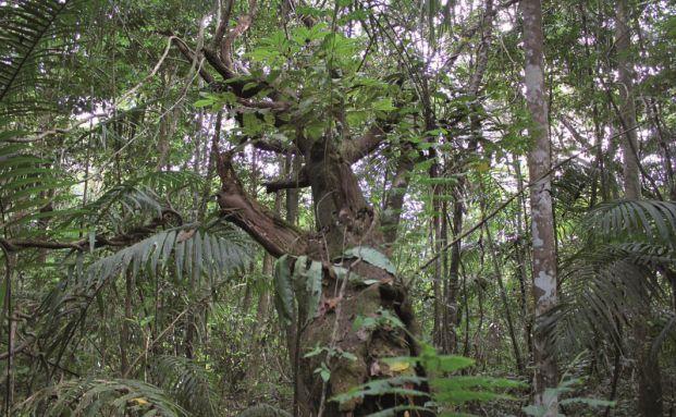 Biodiverser Mischwald in Panama