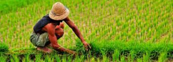 Indonesischer Reisbauer bei der Arbeit.