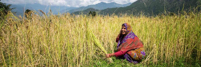 Indische Bäuerin bei der Reisernte: Mifid II in seiner derzeitigen Form führt zu Hungerkrisen, befürchtet Brot für die Welt|© Brot für die Welt