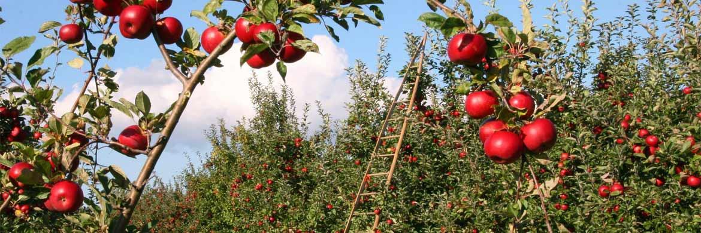 Ein gesunder und wachsender Baum ist die Voraussetzung für eine reichhaltige Ernte. Genauso ist es bei Unternehmen und der Dividende.