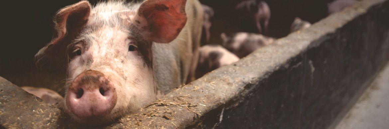 Schweinestall: Die Viehzucht gehört zu den kontroversesten Themen für die Nahrungsmittelindustrie.|© Matthias Zomer