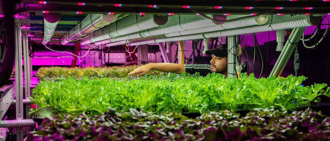Salatanbau auf mehreren Etagen bei Start-up in Chicago: Sogenannte vertikale Landwirtschaft soll die Massenproduktion von Pflanzen in Städten ermöglichen.