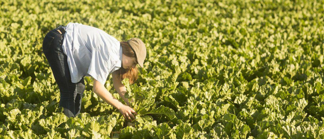 Eine Arbeiterin erntet Gemüse bei Hannover: Die Gehälter in der Landwirtschaft stiegen 2019 überdurchschnittlich.|© imago images / Cavan Images