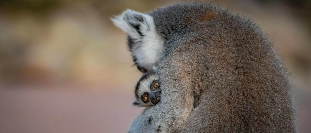 Lemur mit Nachwuchs: Das nachhaltige Fondskonzept von Green Benefit soll auch der Umwelt helfen|© imago images / ZUMA Press