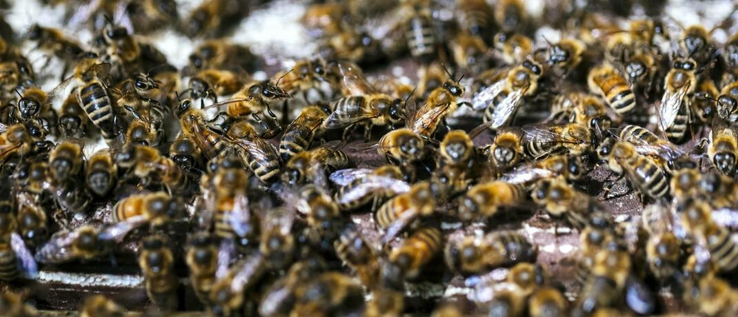 Ein Bienenschwarm: Bei Bienen wird beim sogenannten Biomonitoring die Schadstoffaufnahme im Körper gemessen – ein Verfahren, das auch bei Menschen angewandt und immer weiter perfektioniert wird.