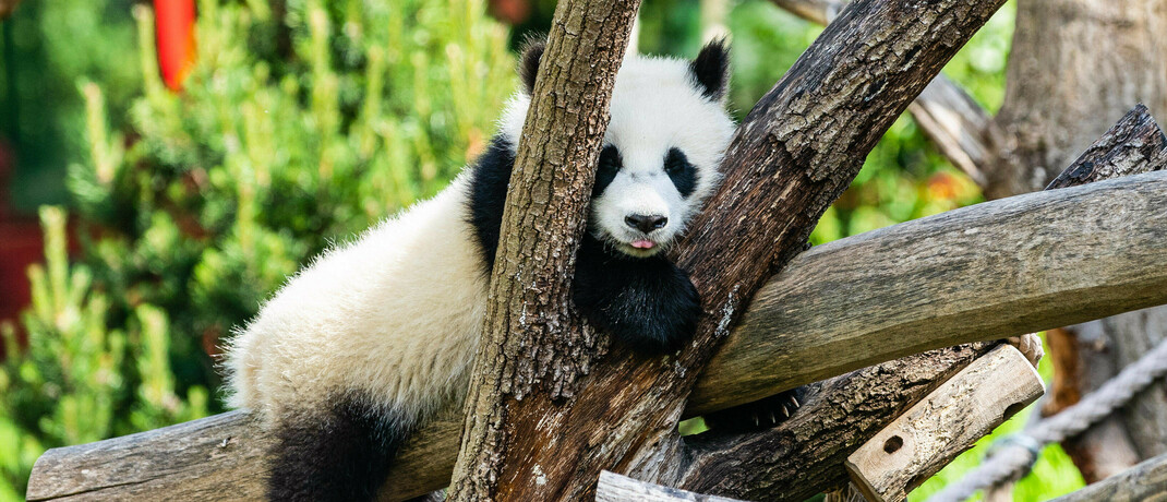 Pandabär im Berliner Zoo: Investment-Strategien können nachhaltiges Wirtschaften fördern