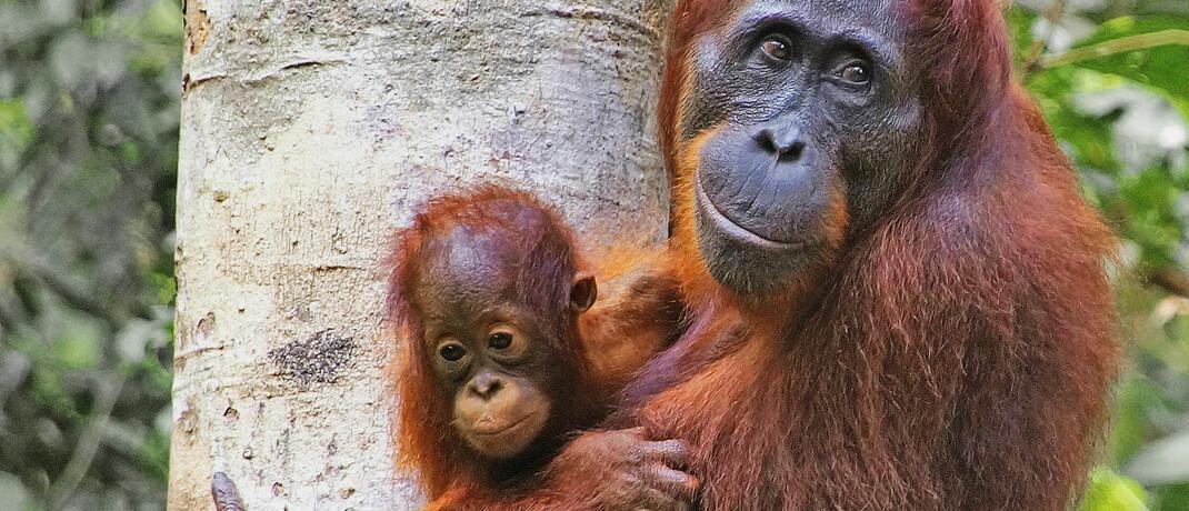 Orang-Utans in Indonesien: Der neue Credit-Suisse-AM-Fonds soll auch dem Umweltschutz zugute kommen|© imago images / blickwinkel