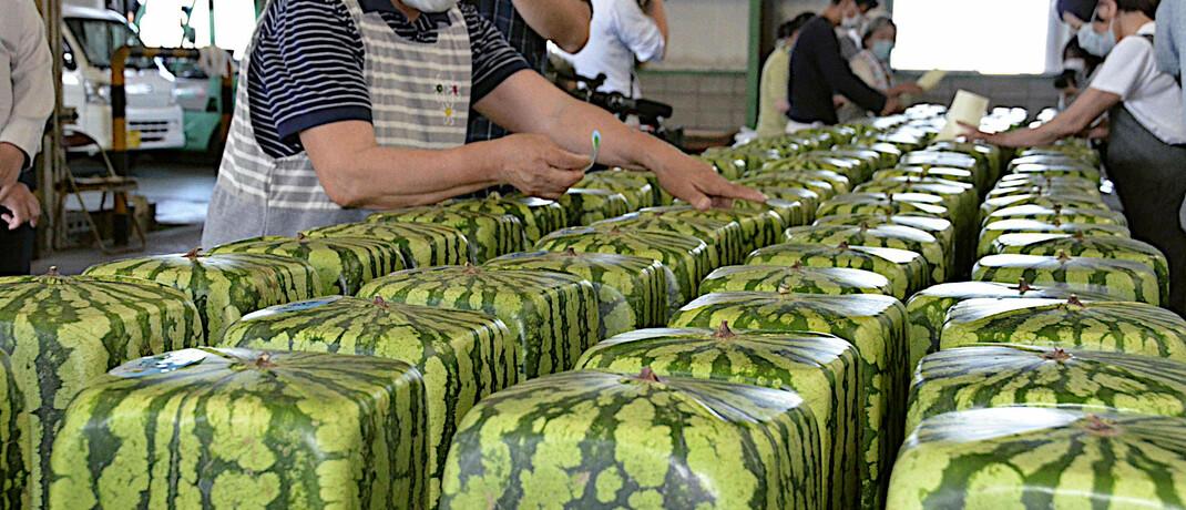 Arbeiterinnen sortieren im japanischen Zentsuji würfelförmige Wassermelonen für den Versand.