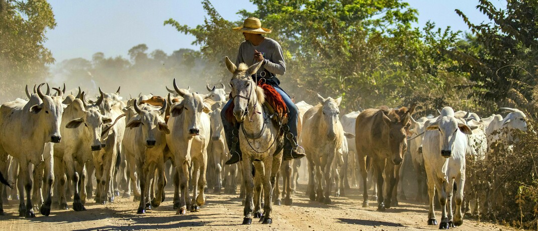 Rinderherde in Brasilien