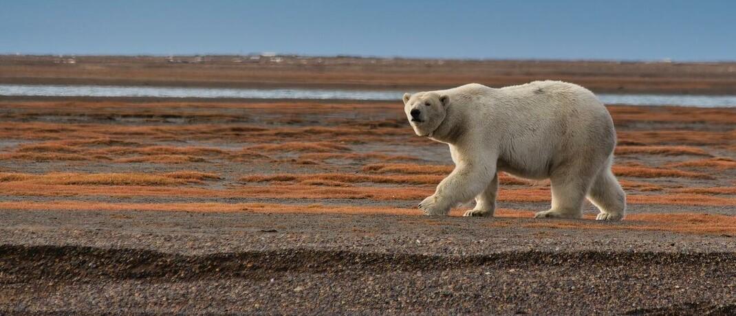 Eisbär auf Futtersuche