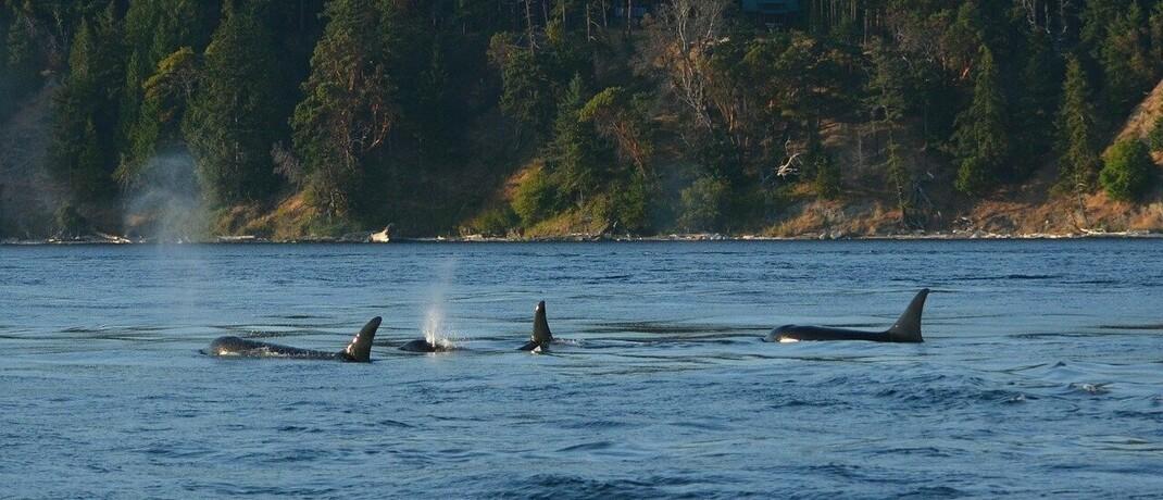 Schwertwale in freier Wildbahn