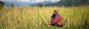 Indische Bäuerin bei der Reisernte: Mifid II in seiner derzeitigen Form führt zu Hungerkrisen, befürchtet Brot für die Welt