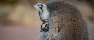 Lemur mit Nachwuchs: Das nachhaltige Fondskonzept von Green Benefit soll auch der Umwelt helfen