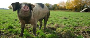 Glückliches Schwein auf einer Wiese: Über die Hälfte der Studienteilnehmer ist gar kein Fleisch, andere achten verstärkt auf die Herkunft.