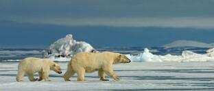 Eisbärmutter mit Jungtier