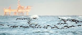 Ringelgänse vor einer Bohrplattform in der Nordsee