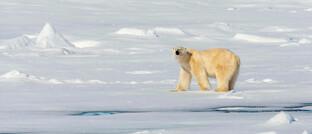 Eisbär auf Spitzbergen