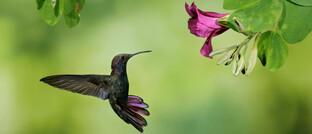 Kolibri auf Futtersuche