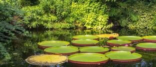 Wasserpflanzen im Amazonas