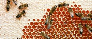 Honigbienen