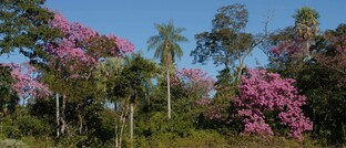 Bäume in Paraguay