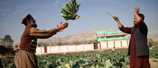 Ernte in Dschalalabad im Osten Afghanistans
