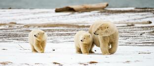 Vor allem Eisbären sind von der Klima-Erwärmung betroffen